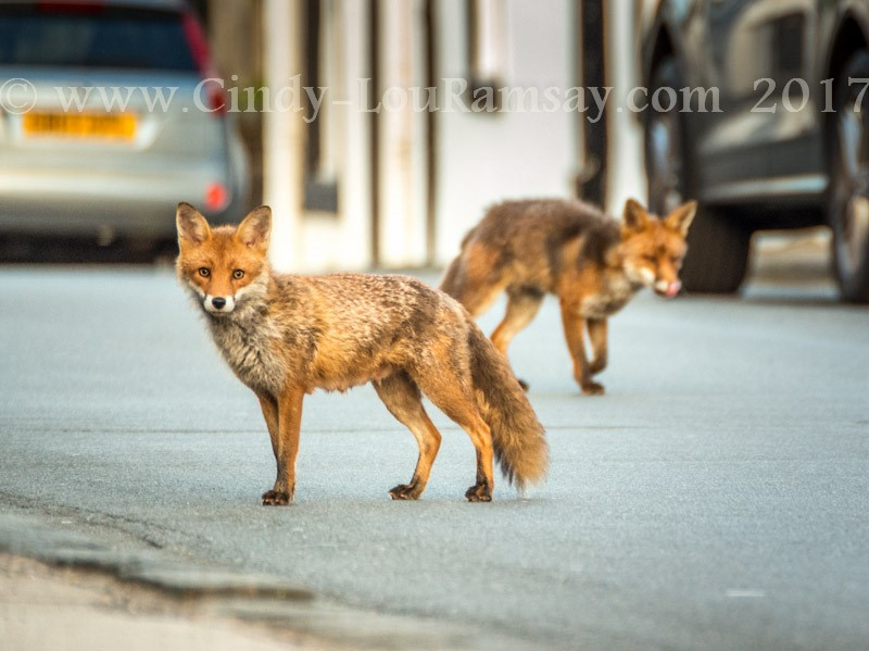 """Night on the town"" foxes"