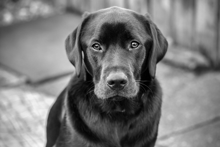 Handsome lab