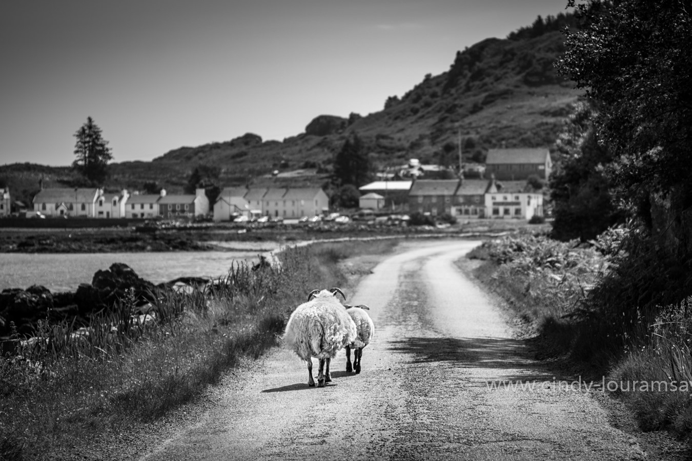 """Long Road Home"" Sheep, Isle of Mull, Scotland"