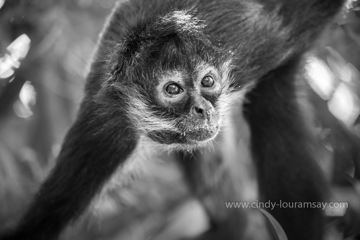 Spider Monkey B&W Mexico Cindy Lou Ramsay Photography
