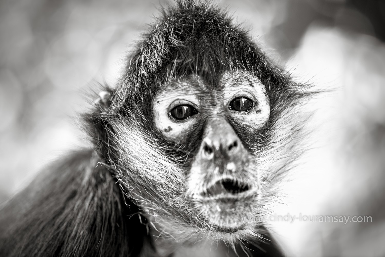 Cindy Lou Ramsay B&W Spider Monkey close up Mexico